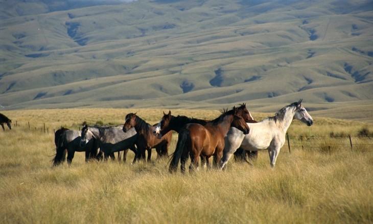 Horses near Roxburgh, Otago, South Island