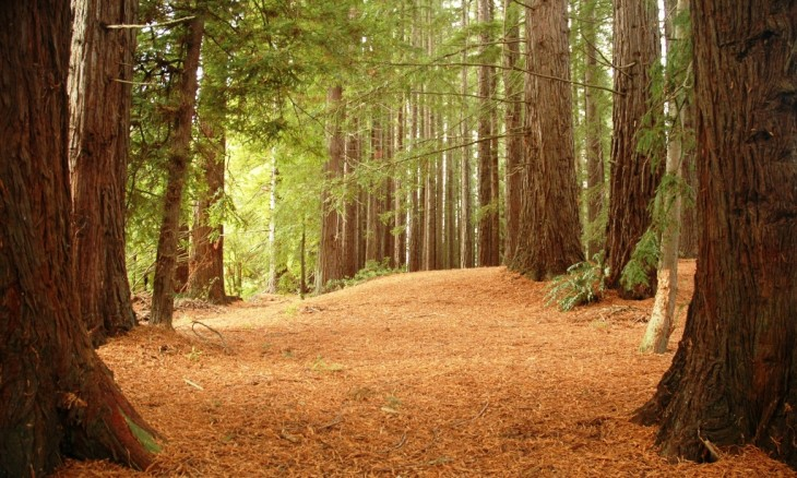 Redwood Forest, Rotorua, North Island
