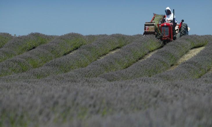 Lavender farm, Hawke's Bay, North Island
