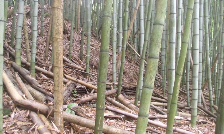 Bamboo Plantation, Auckland, North Island