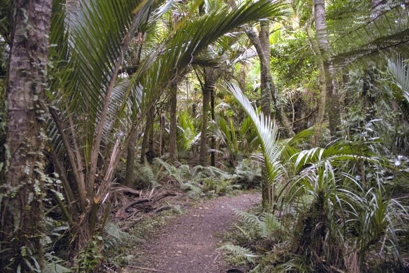 Nikau Grove near Karamea, West Coast, South Island