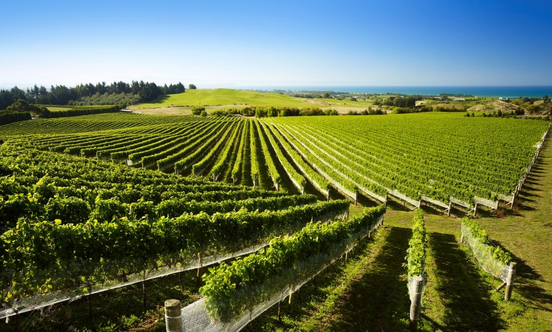 Haumoana vineyard, Hawke's Bay, North Island