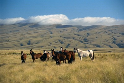 Horses near Roxburgh, Otago, South Island
