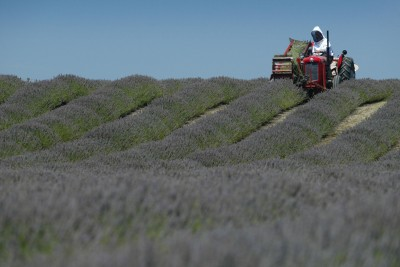 Lavender farm, Hawke's Bay, North Island