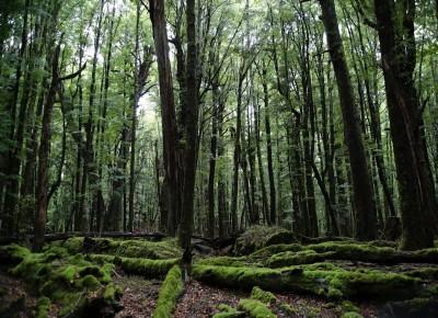 Glenorchy Beech Forest, Otago